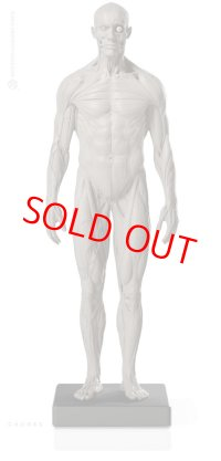 Male 1:6 Superficial Muscle System /Anatomy fig v.2 アナトミーフィギュア 男性