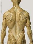 画像3: Male 1:6 Superficial Muscle System /Anatomy fig v.1 アナトミーフィギュア 男性 (3)