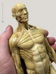 画像2: Male 1:6 Superficial Muscle System /Anatomy fig v.1 アナトミーフィギュア 男性 (2)