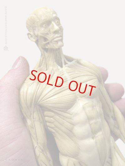 画像2: Male 1:6 Superficial Muscle System /Anatomy fig v.1 アナトミーフィギュア 男性