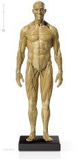 画像1: Male 1:6 Superficial Muscle System /Anatomy fig v.1 アナトミーフィギュア 男性 (1)