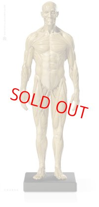 Male 1:6 Superficial Muscle System /Anatomy fig v.1 アナトミーフィギュア 男性