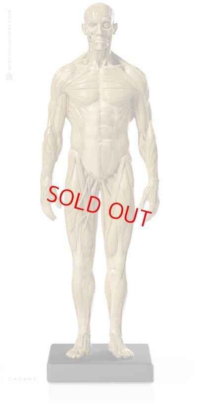 画像1: Male 1:6 Superficial Muscle System /Anatomy fig v.1 アナトミーフィギュア 男性