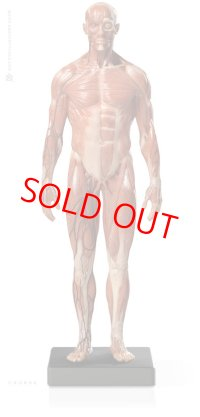 Male 1:6 Anatomy fig v.3 - superficial muscle system アナトミーフィギュア 男性