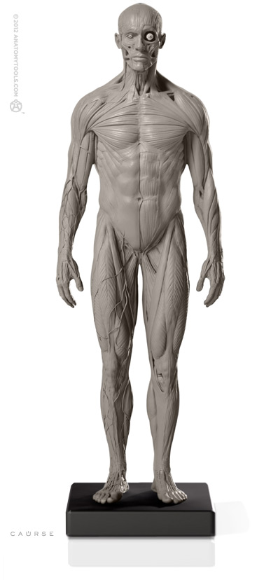 male 1 6 superficial muscle system anatomy fig v 2 アナトミー