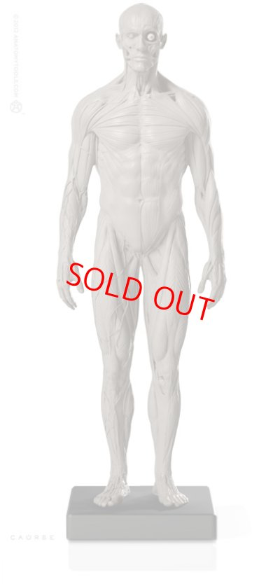 画像1: Male 1:6 Superficial Muscle System /Anatomy fig v.2 アナトミーフィギュア 男性