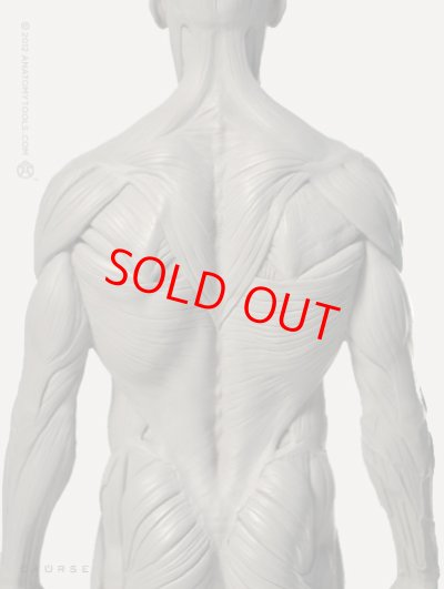 画像2: Male 1:6 Superficial Muscle System /Anatomy fig v.2 アナトミーフィギュア 男性
