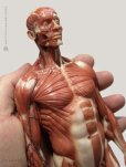 画像3: Male 1:6 Anatomy fig v.3 - superficial muscle system アナトミーフィギュア 男性 (3)