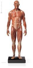 画像1: Male 1:6 Anatomy fig v.3 - superficial muscle system アナトミーフィギュア 男性 (1)