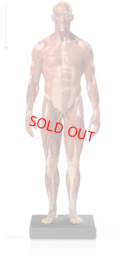 画像1: Male 1:6 Anatomy fig v.3 - superficial muscle system アナトミーフィギュア 男性