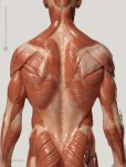 画像2: Male 1:6 Anatomy fig v.3 - superficial muscle system アナトミーフィギュア 男性 (2)