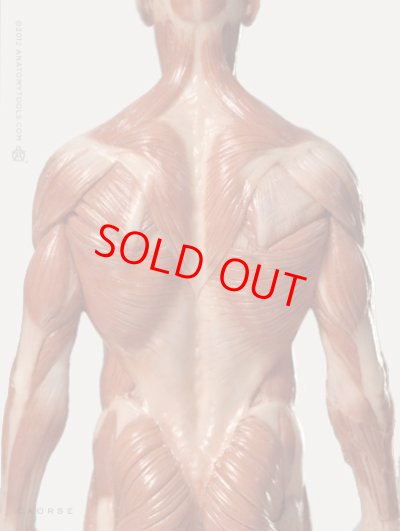 画像2: Male 1:6 Anatomy fig v.3 - superficial muscle system アナトミーフィギュア 男性