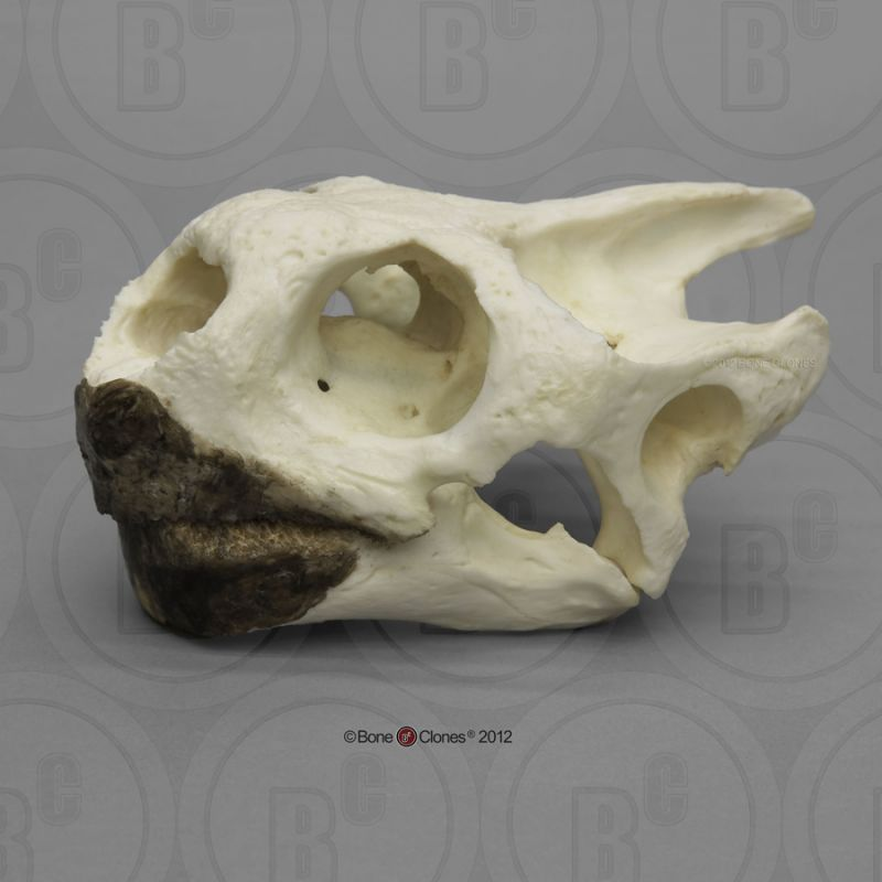 画像1: ガラパゴスゾウガメ 頭骨