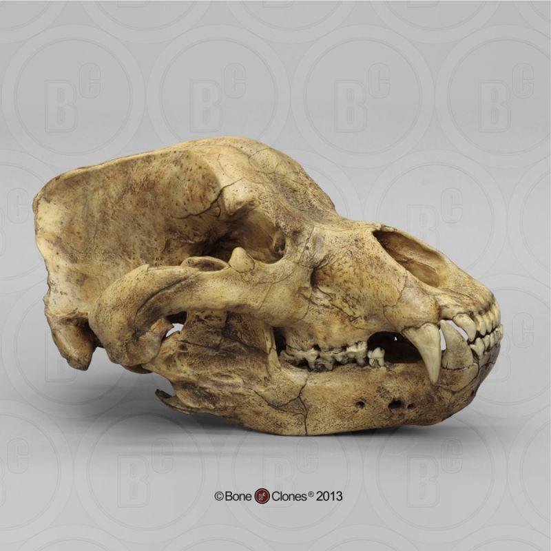 画像1: ホラアナグマ 頭骨