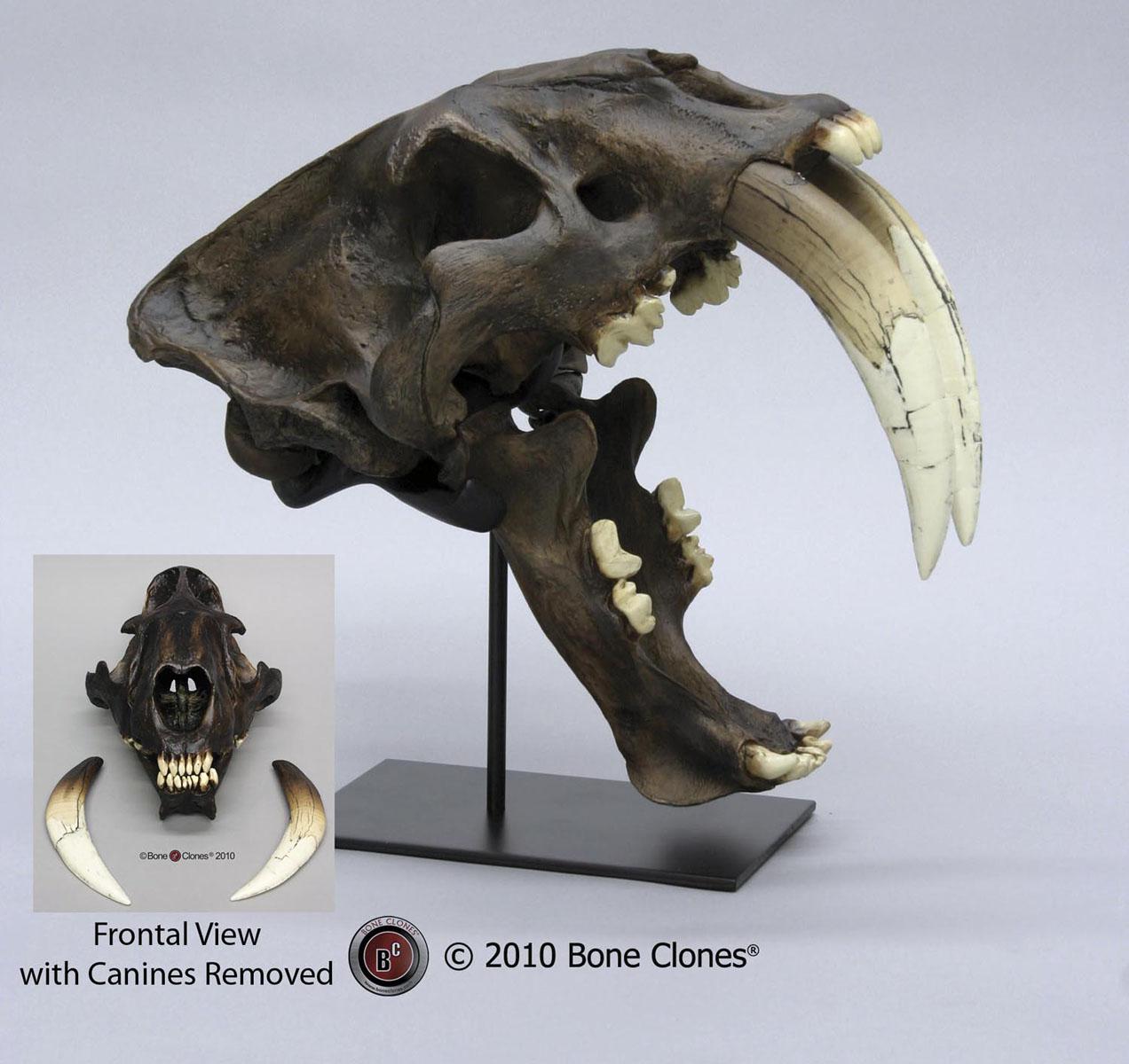 画像1: Deluxe サーベルタイガー頭骨 タールピットVer.