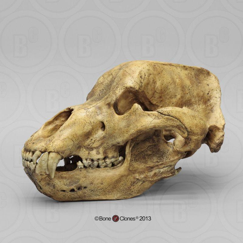 画像2: ホラアナグマ 頭骨