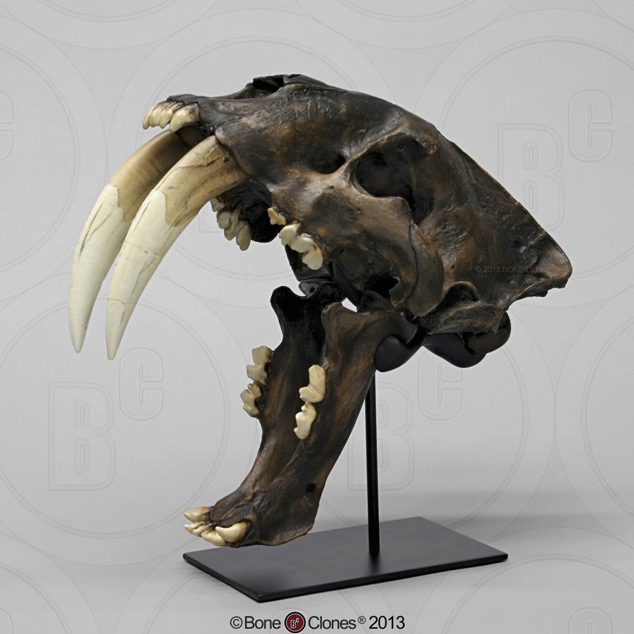 画像1: サーベルタイガー頭骨 タールピットVer.