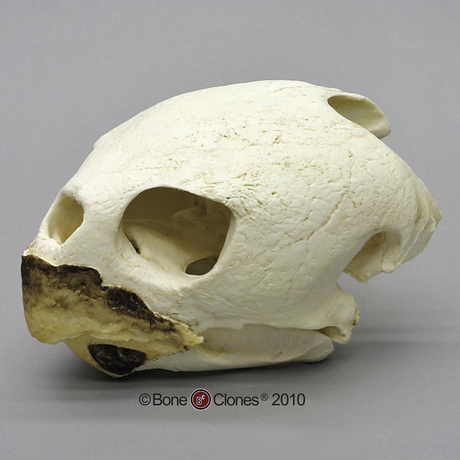 画像1: アカウミガメ 頭骨