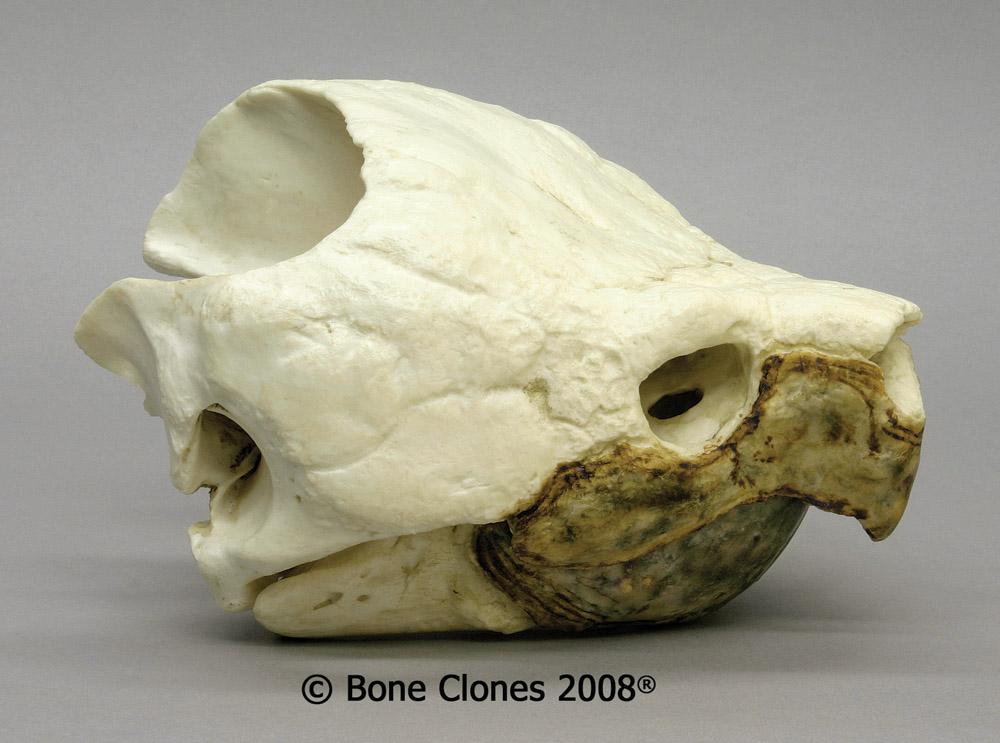 画像1: ワニガメ 頭骨