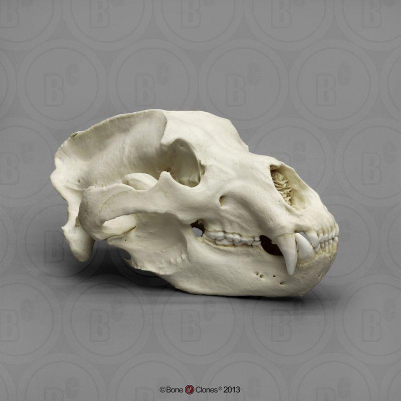 画像1: コディアックヒグマ 頭骨