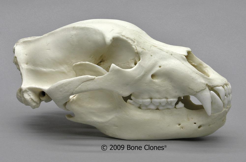 画像1: ハイイログマ 頭骨
