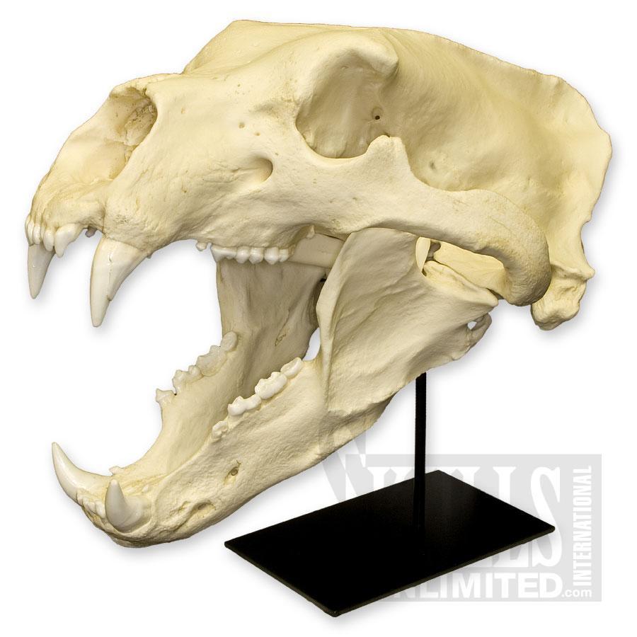 画像2: ホッキョクグマ 頭骨