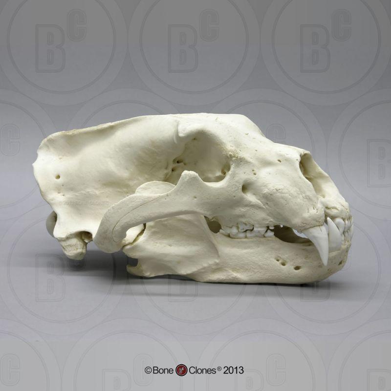 画像1: ホッキョクグマ 頭骨
