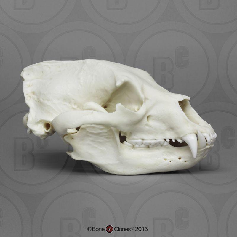画像1: ブラックベアー 頭骨